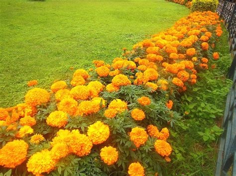 marigold flower garden growing marigolds greenmylife anyone can garden
