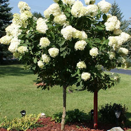 small trees for sale limelight hydrangea tree for sale fast growing trees