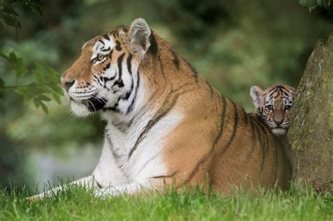 of tiger update our tiger cubs been named at the zoo