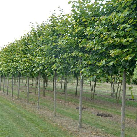 lime tree pleached lime trees pleached lime hedging