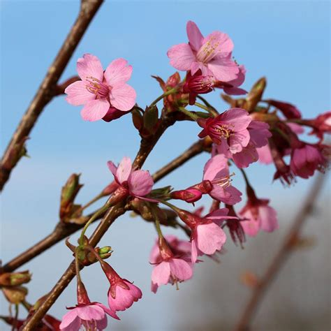 4 in 1 cherry tree home depot prunus kursar flowering cherry tree mail order trees