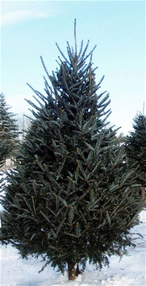 order real tree real live fresh mail order 9 fraser fir trees