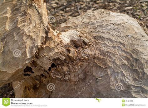 beaver woodworking beaver chewed wood stock photo image 48424639