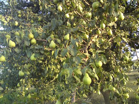 pear tree pear trees ect on pear trees pears and