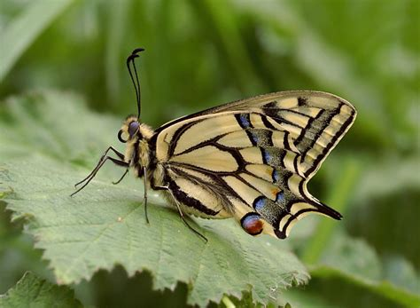 of a butterfly butterflies of europe papilio machaon