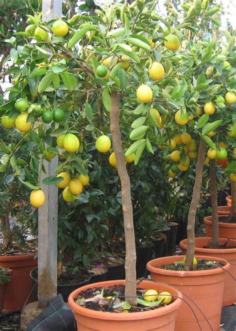 citronnier lime vert auda grossiste fleurs coupees plantes vegetaux pepiniere jardinerie