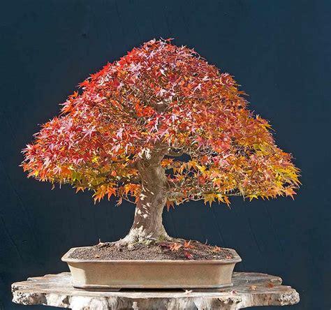 walter pall bonsai adventures development of japanese maple 13
