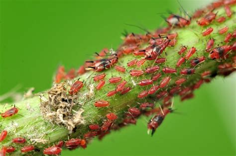 tree aphid infestation how to get rid of aphids mnn nature network