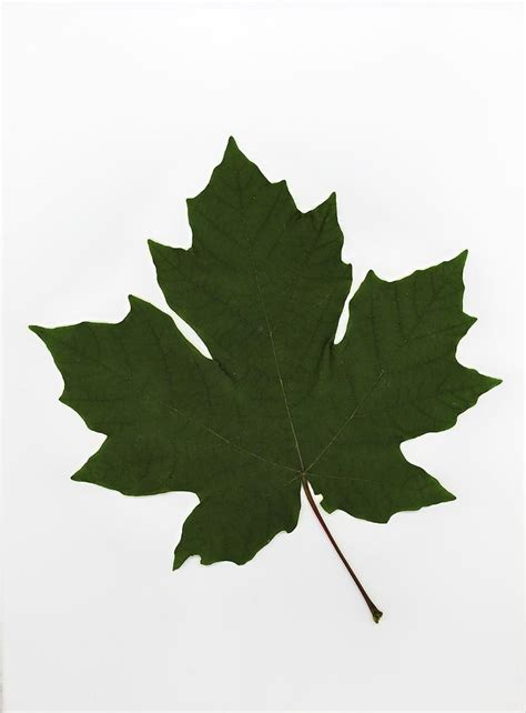 green maple leaf photograph by deddeda
