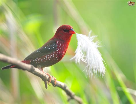 Small Country Homes strawberry finch family pets4homes