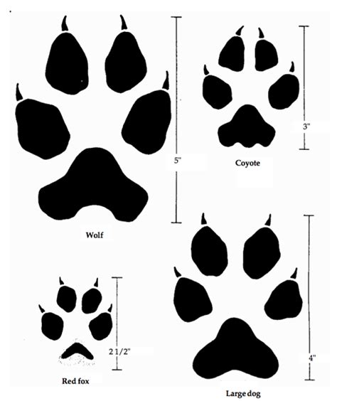 coyote vs fox vs wolf vs dog prints fox and wolf