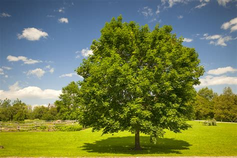 large single maple tree on summer day in green field with longfellow s greenhouses