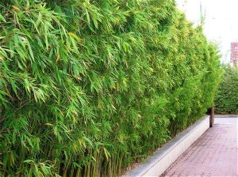 bambous production vente de bambous nombreuses vari 233 t 233 s du nain au g 233 ant