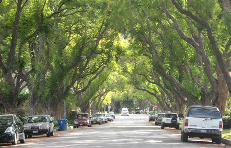 live trees los angeles city trees and infrastructure southwest trees and turf