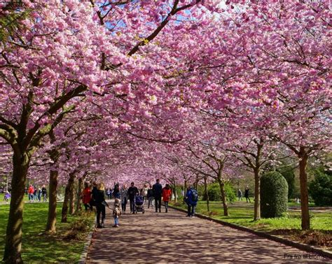 it s a beautiful time of year when the japanese cherry trees blossoms in the bispebjerg