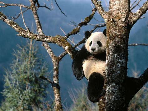 panda china a panda and the habitat china tour package