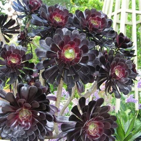 Black Kitchen Islands aeonium arboreum zwartkop with white display pot