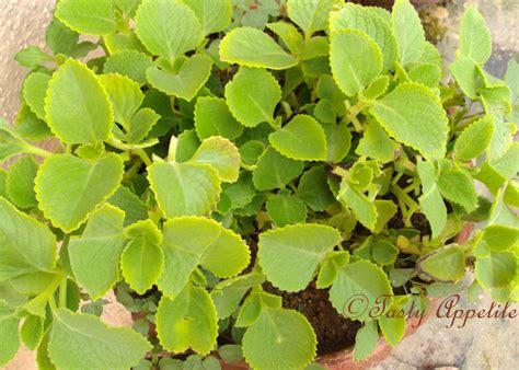 with leaves karpooravalli ajwain leaves thuvaiyal