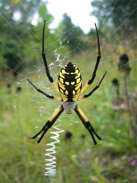 Garden Spider Photos Top Ten Of 2008 Beetles In The Bush