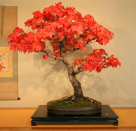 maple acer rubrum bonsai trees seeds not tree juniper elm pinus japanise ebay