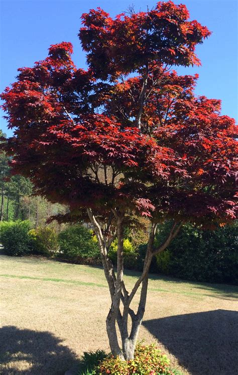 backyard landscaping ideas japanese maple leaf tree infobarrel
