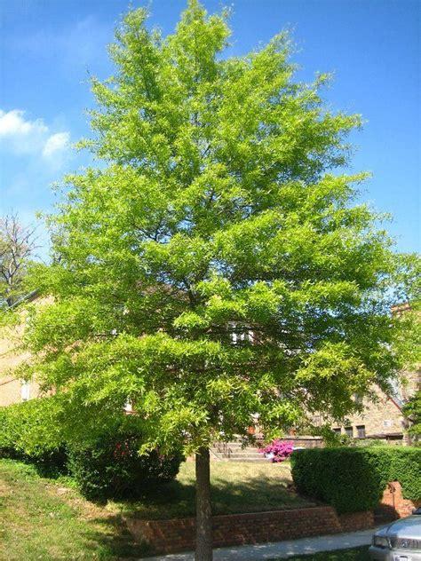 oak tree rubber st willow oak tree for