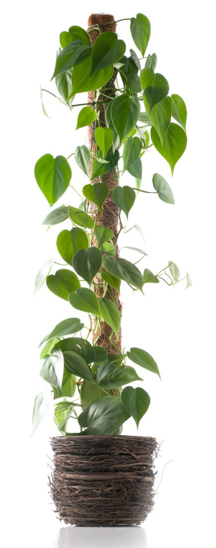 inside house plants how to support climbing houseplants indoors