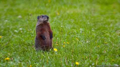 groundhog day hd wallpapers animal pictures and