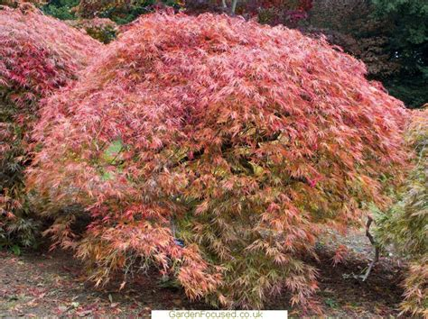 japanese maple pests and diseases in the uk identify treat