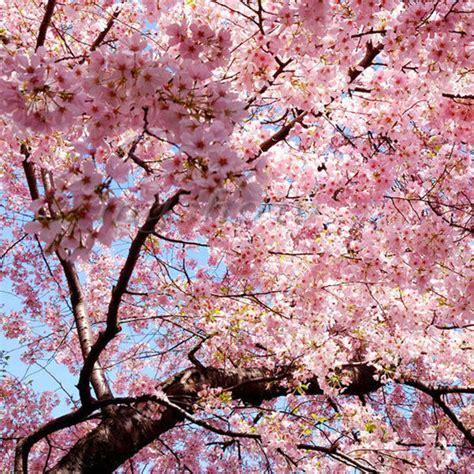 cherry tree vs cherry blossom tree japanese cherry blossom tree seeds prunus serrulata pink flower ebay