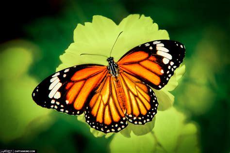 a butterfly carpe diem haiku carpe diem 498 butterfly
