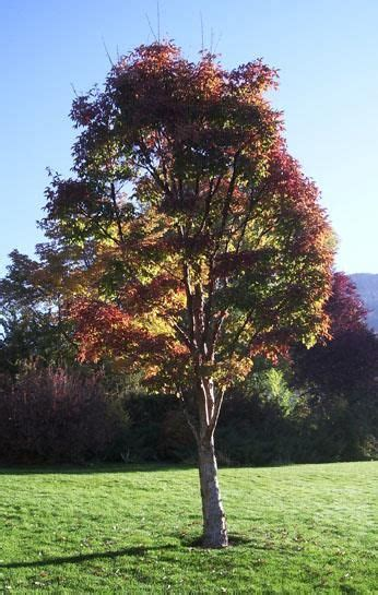 maple tree colorado 17 best images about trees for colorado on trees ash and