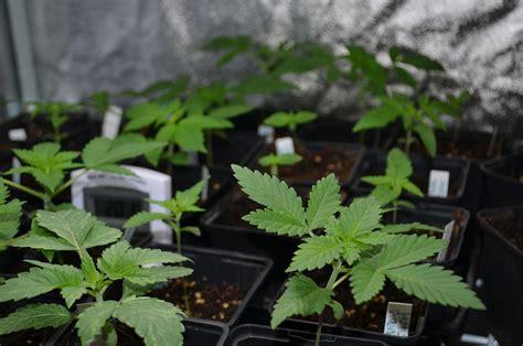 graines de cannabis d int 233 rieur quelles vari 233 t 233 s indoor du growshop alchimia