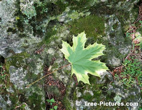 maple tree facts maple tree pictures images photos facts on maples trees