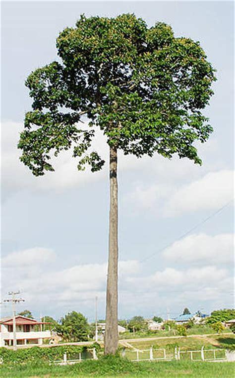 tree in brazil wwf harvesting nuts improving lives in brazil