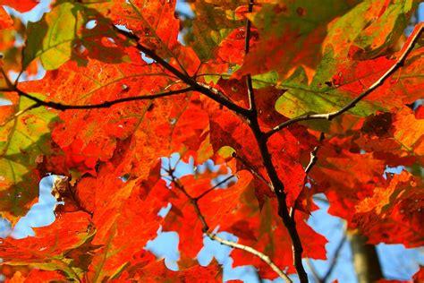 for fall free photo autumn fall leaf orange nature free