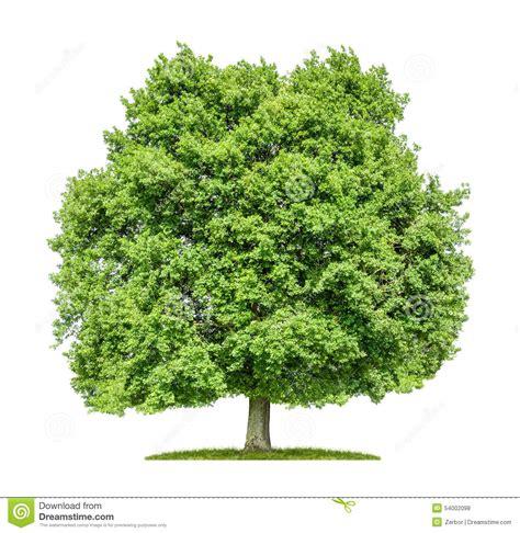 tree on white background oak tree on a white background stock photo image 54002098