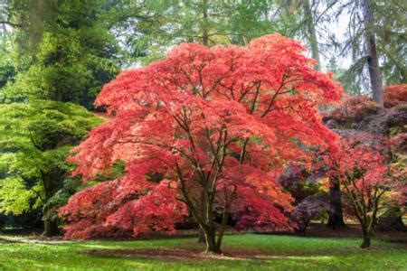 maple tree types types of maple trees lovetoknow