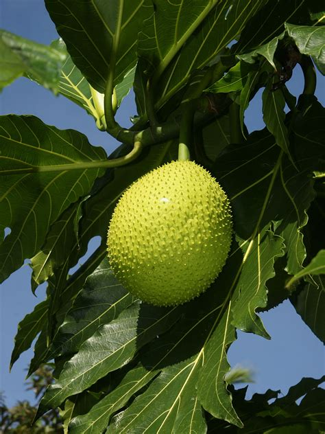 pan trees breadfruit