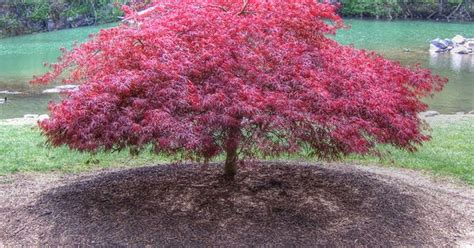 laceleaf japanese maple zen garden tree landscaping a peaceful space projects
