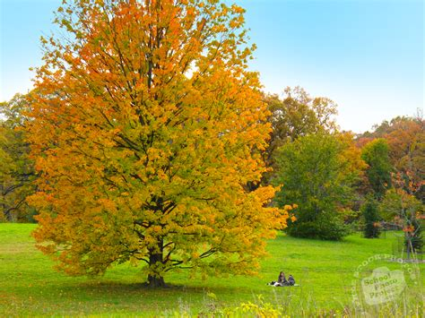 free colorful maple tree photo fall foliage picture autumn panorama royalty free landscape