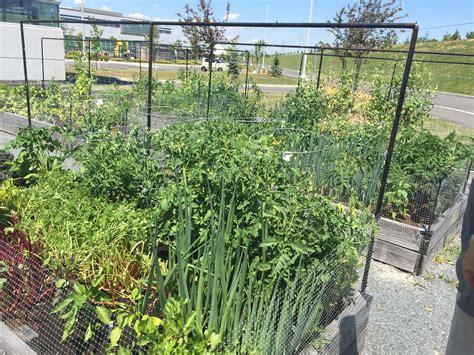 community vegetable garden community vegetable gardens seedling