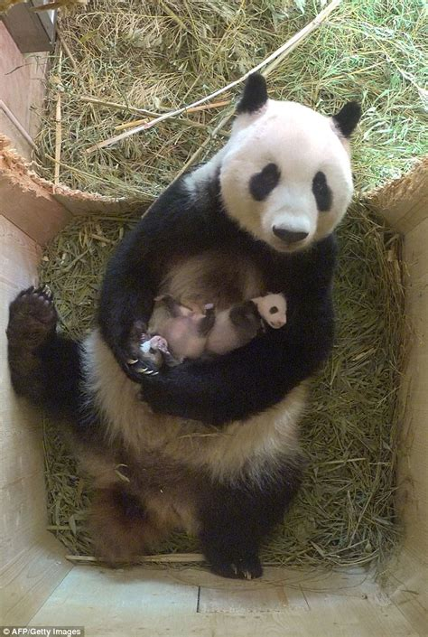 one panda panda yang yang relaxes with month at