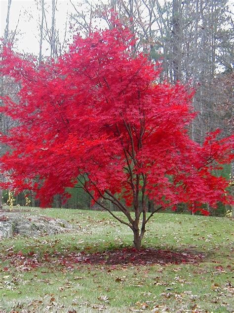 maple tree japanese autumn one more time with feeling the key to my