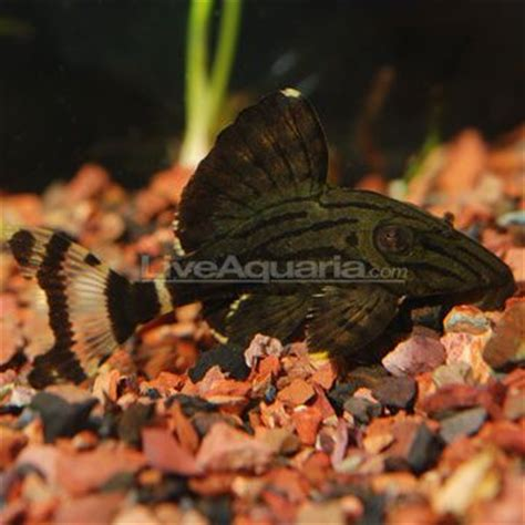fish rubber st 30 best images about plecostomus on fresh