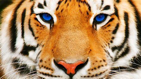 of tiger tiger hd