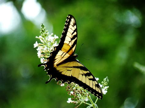 a butterfly unique wallpaper butterfly