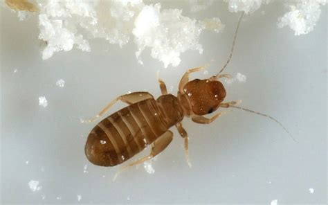 book mites pictures book lice glue mites and other insects that can crawl in