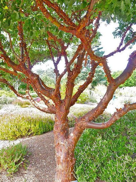 maple tree clay soil paperbark maple or acer griseum landscape clay soil drought tolerant and