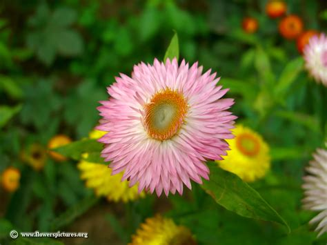 pictures of flowers strawflower picture 2